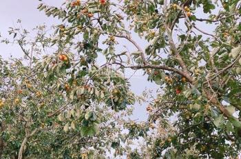 Chính chủ bán 800m2 đất nông nghiệp, đang trồng hồng giòn ngoại ô TP Đà Lạt, giá rẻ