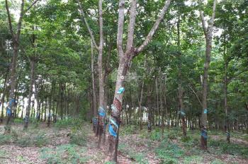 Do tuổi già sức yếu nên gia đình cần bán lại 2,3 ha cao su đang cạo và điều tại huyện Lộc Ninh