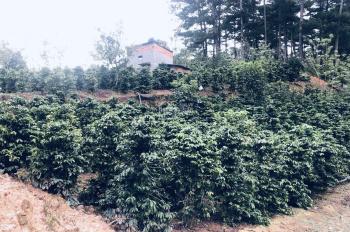 Hơn 3 xào đất vườn cafe đang thu hoạch