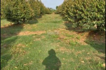 Vườn sầu riêng nghỉ dưỡng phân lô/đầu tư sinh lợi
