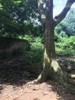 Bán đất nhà vườn khu 7 hy cương đền hùng diện tích 1641m2 ( 150m thổ cư) còn lại đất vườn lâu năm