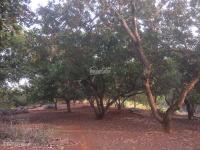 chính chủ cho thuê 125 hecta đất vườn trồng cao su và điều