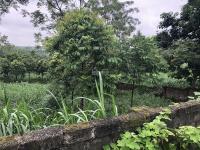 nhượng 1700m2 đất trang trại nhà vườn xã tản lĩnh cạnh cổng vườn quốc gia ba vì