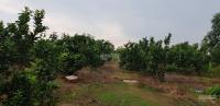 cần bán 2 ha đất trồng 800 gốc bưởi da xanh năm 4 đang ra trái