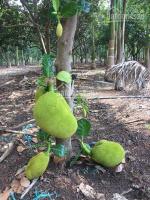 Bán đất, tặng vườn trái cây liền kề khu công nghiệp 1200m2, giá chỉ 500tr LH: 0988050715