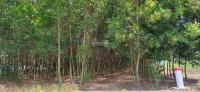2,6 mẫu tràm thôn Đá Mài - Tân Xuân cần bán nhanh LH: 0944911385