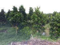 10 công đất vườn mít 4 năm tuổi, có nhà đẹp, 2 mặt tiền, dall 3m, giá 3,8 tỷ TL, 0988256968 Hải