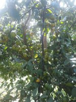 chính chủ cần bán gấp vườn cam 12 ha tại huyện lạc sơn tỉnh hòa bình lh mr hải 086 590 1563