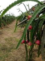 bán nông trại thanh long việt hàn 216 hecta tại phan thiết bình thuận 0908260209