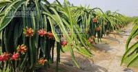 trồng thanh long l vốn cần bán liền lô đất tại tphcm gần trung tâm khu tên lửa đối diện bệnh viện