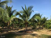 bán trang trại bưởi dừa hơn 40000 m2 khu vực đang phát triển ở nha trang