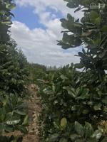 bán vườn sầu riêng 10000m2 cực tốt đang cho trái giá rẻ 45 tỷ lh 0909491373