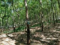 cần sang nhượng gấp vườn cao su vườn cây ăn trái đủ các loại 55570m2 có 400m2 tc giá 13 tỷ