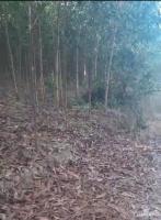 đổ nợ bán gấp lô đất trồng keo 2300m2 tại xã diên xuân với giá chỉ 190 triệu lh 0982497979 ms vy