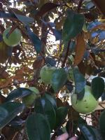 bán hơn 61 hecta cây cao su đã trồng 4 năm giá 820 triệuha