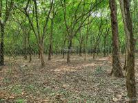 dt 33ha đất trồng cây lâu năm 3 mặt tiền tại hớn quản bình phước
