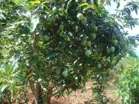 bán trang trại trái cây 11000m2 diên khánh