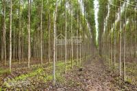 tôi có ông chú cần bán 40ha đất trông cây lâu năm tại tràng định lạng sơn 100trha