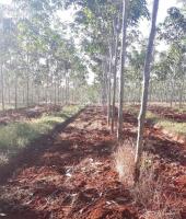 10 mẫu đất cao su tại hớn quản bình phước