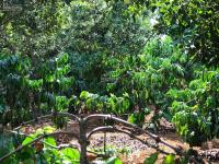 bán gấp đất vườn macca sắp thu hoạch có giá trị cao tại khu đang mở dự án di tích lịch sử