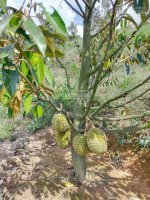bán vườn cây ăn trái 30 hecta sổ hồng chính chủ