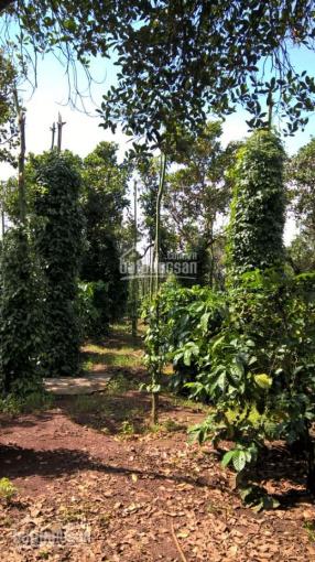 Bán gấp 5 mẫu đất vườn (tiêu, điều, cafe, bơ), đang thu hoạch-LH 0938 018 295 Vân chính chủ ảnh 0