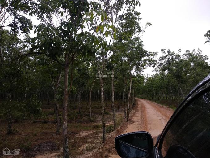 Bán trang trại cao su Dầu Tiếng 13ha thích hợp làm trang trại giá 1,6 tỷ/ha