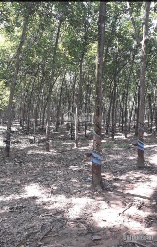 Bán đất rẫy cao su đang thu hoạch 3 năm tại Bình Thuận