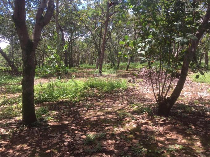 Bán vườn điều đất đỏ bằng mặt tiền đường lớn, giá chỉ 550tr/ha
