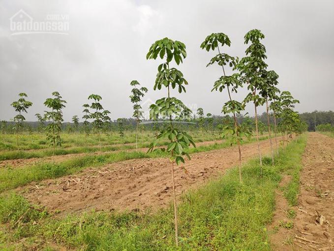 Bán 2,4 hecta cao su trồng năm nhất (1,2 tỷ)