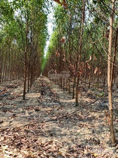 Bán 7ha đất trang trại Xuân Hoà, Xuân Lộc, Đồng Nai, đang trồng tràm, gần trại heo, bò
