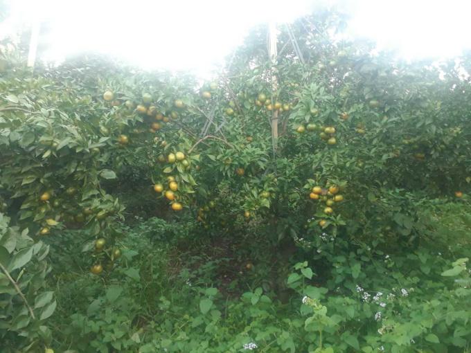 Chính chủ cần bán gấp vườn cam 12 ha tại huyện Lạc Sơn, tỉnh Hòa Bình. LH Mr Hải 086 590 1563