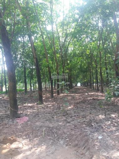 Bán 125 ha đất đang trồng cao su Bình Phước, diện tích: 125 ha, giá bán 62 tỷ