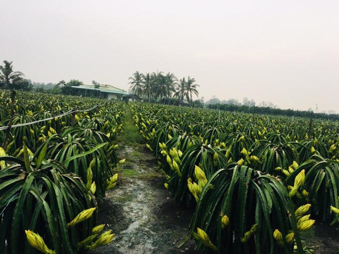 Bán vườn 5500m2 thanh long ruột đỏ đang thu hoạch Tiền Giang