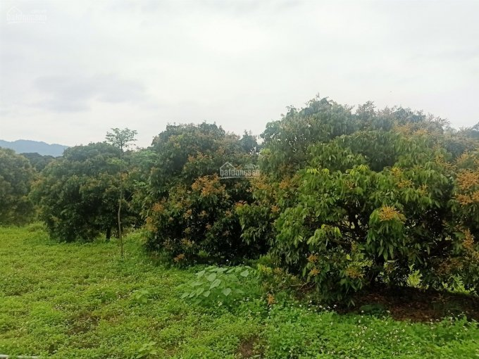 Cần bán 2 ha đất ở cộng đất vườn, trồng cam ở Cao Phong giá 2.5 tỷ, 0986997230