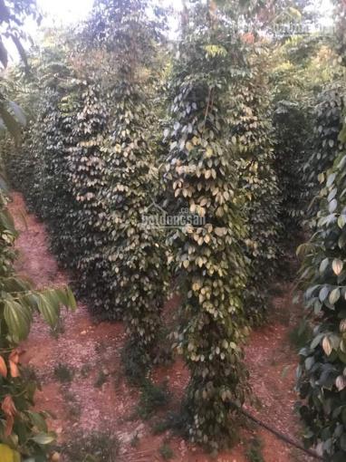 Cần bán rẫy 5ha đang trồng tiêu. Thu hoạch 15 tấn/1 vụ tại thôn Đăklư Nâm N