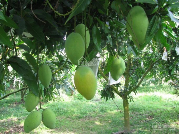Bán trang trại trái cây 11.000m2 Diên Khánh