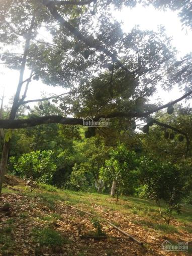 Cần bán vườn trái cây sầu riêng tại Hớn Quản, Bình Phước