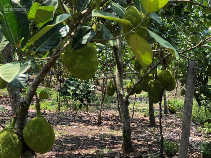 Bán gần 2 sào vườn trái cây, Bình Lộc, Long Khánh, giá 2.05 tỷ(TL), Lh: 0846.339.579 ảnh 0