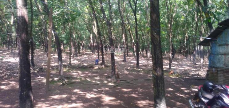 Cần bán 6ha cao su tại Lộc Quang, Lộc Ninh, Bình Phước