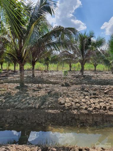 Bán hai nền đất vườn liền kề 1.591m2, xã Tam Phước, Châu Thành, Bến Tre ảnh 0