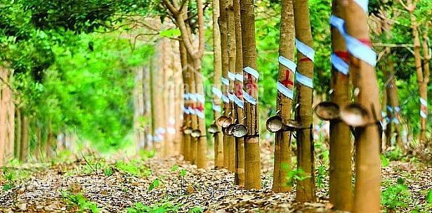 Bán rừng cao su 30 ha trung tâm huyện Hàm Tân, doanh thu 600 triệu / năm