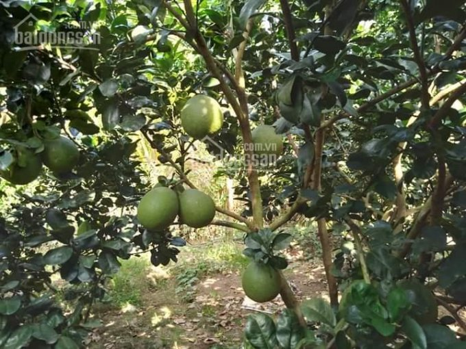Bán rẻ vườn bưởi trái sai trũi cành gần trung tâm TP. Mỹ Tho, tiền giang