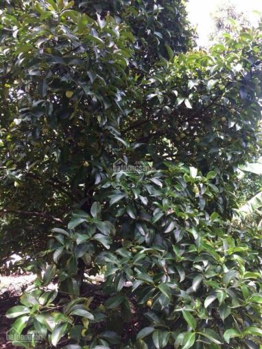 Bán vườn trái cây ngay khu du lịch Cầu Ngang. Giá TT 5,5 triệu/m2 ảnh 0