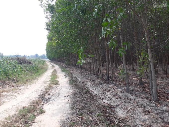 Bán 2,8 mẫu đất đang trồng tràm tại huyện Xuân Lộc, Đồng Nai, giá 7 tỷ, LH 0379871838 ảnh 0