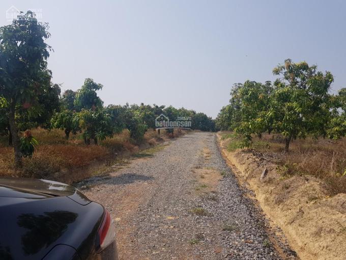 Cần bán nhanh 2 vườn xoài sổ riêng ngay KCN Định Quán quy mô 100ha hiện hữu, chỉ từ 468 triệu/sào ảnh 0