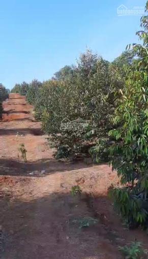 Bán đất vườn sầu riêng xã Hàng Gòn, TP Long khánh, 9900m2, giá 1,2 tỷ/sào