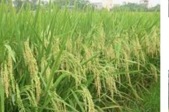 Bán đất ruộng trong khu vực trồng cây ăn trái (xã Thanh Mỹ, Tháp Mười, Đồng Tháp) ảnh 0