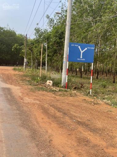 Bán vườn đang trồng cao su - Đồng Phú - Bình Phước ảnh 0