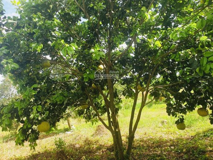 Chính chủ cần bán gấp 5 sào đất vườn mít đang thu hoạch trái to. Bán 600 triệu/sào LH 0917397585 ảnh 0